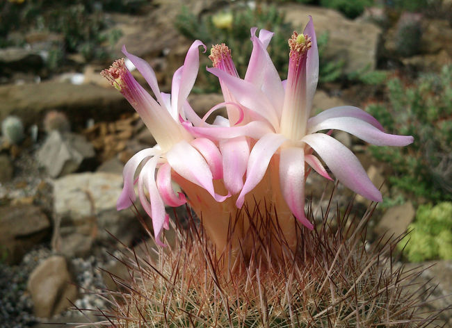 Beauty In Nature Blooming Cactus Cactus Flower Flower Flower Head Freshness Matucana, Perú Nature Pink Color Softness