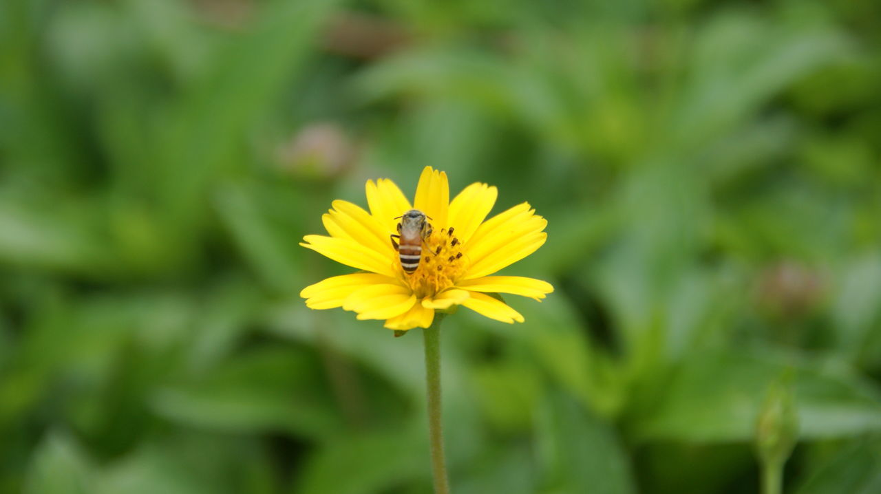 flower, yellow, petal, one animal, fragility, growth, nature, insect, beauty in nature, animal themes, flower head, plant, freshness, animals in the wild, outdoors, focus on foreground, day, bee, animal wildlife, pollen, no people, pollination, close-up, blooming