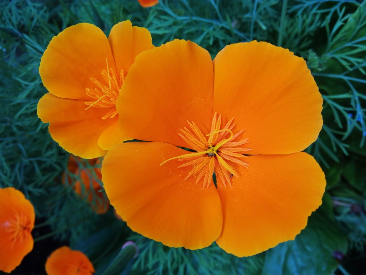 Catching the sun from these California poppies. California Poppies California Poppy Orange Flowers Orange Petals Orange In The Garden Garden Garden Flowers Garden Flowers In Bloom Bloom Blooming