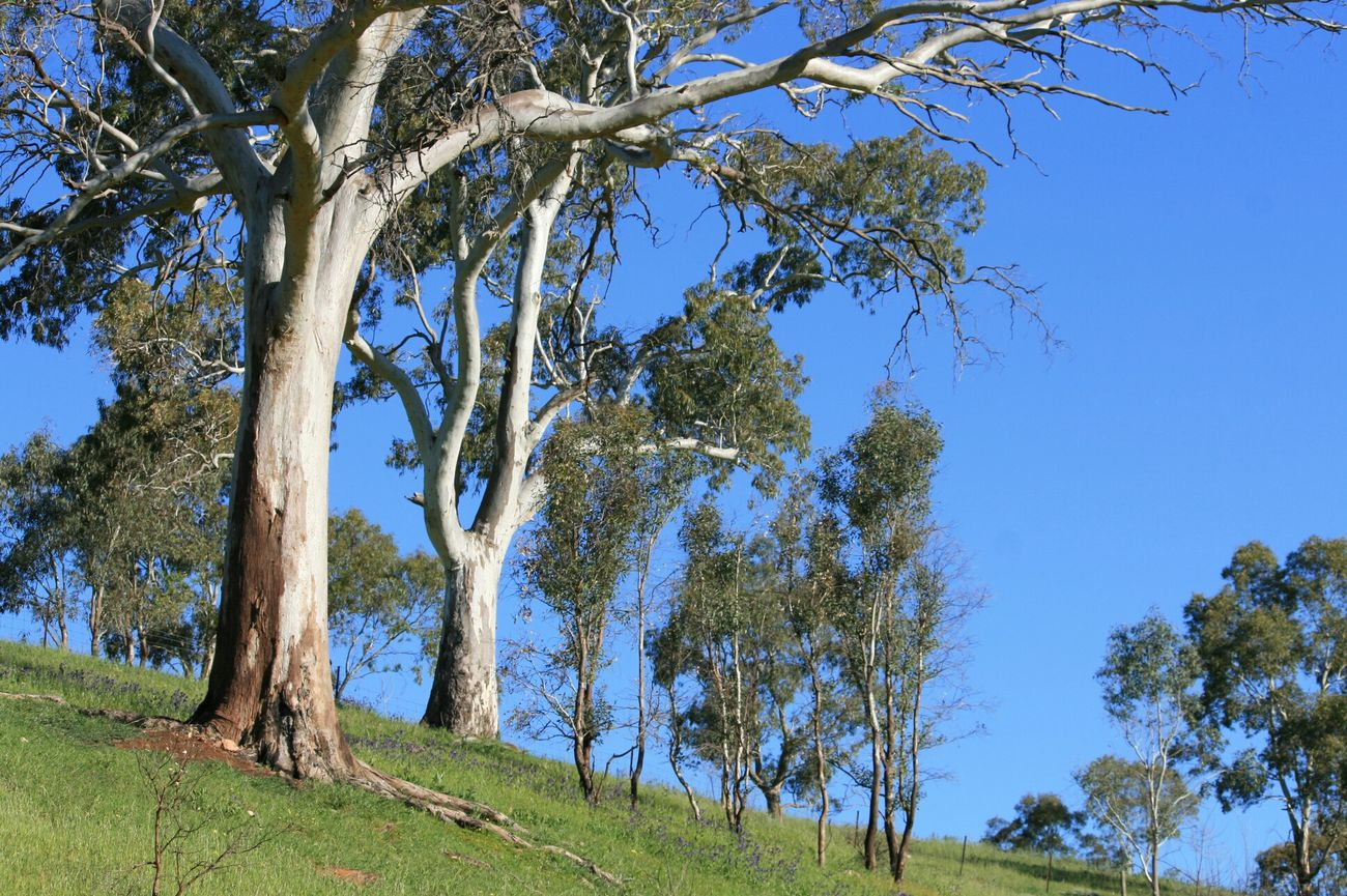 Countryside A Place To Breathe Blue Sky Gum Trees