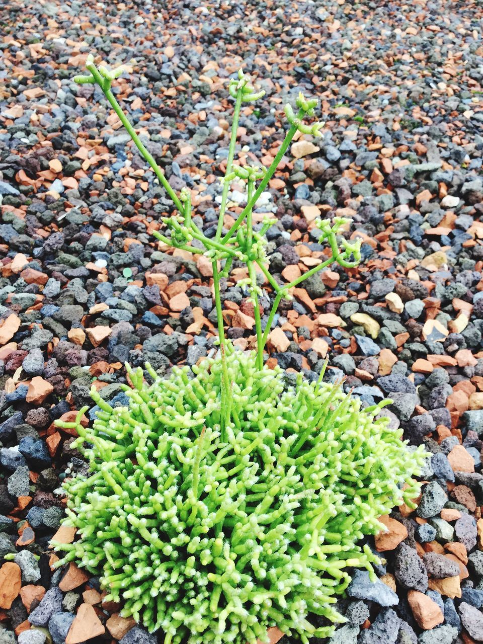 green color, nature, growth, day, outdoors, high angle view, no people, plant, pebble, beauty in nature, close-up, freshness