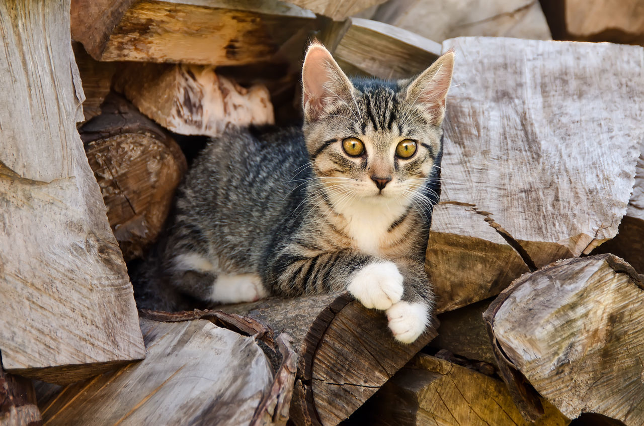 Cute young tabby kitten resting on a stack of logs and uses the wood pile as an observation spot. Animal Themes Cat Close-up Curious Cute Day Domestic Animals Domestic Cat Farm Cat Feline High Angle View Kitten Kitty Looking At Camera Mammal Observation Spot. Outdoors Pets Portrait Sitting Stack Of Logs Tabby Cat Wood - Material Wood Pile Young Animal