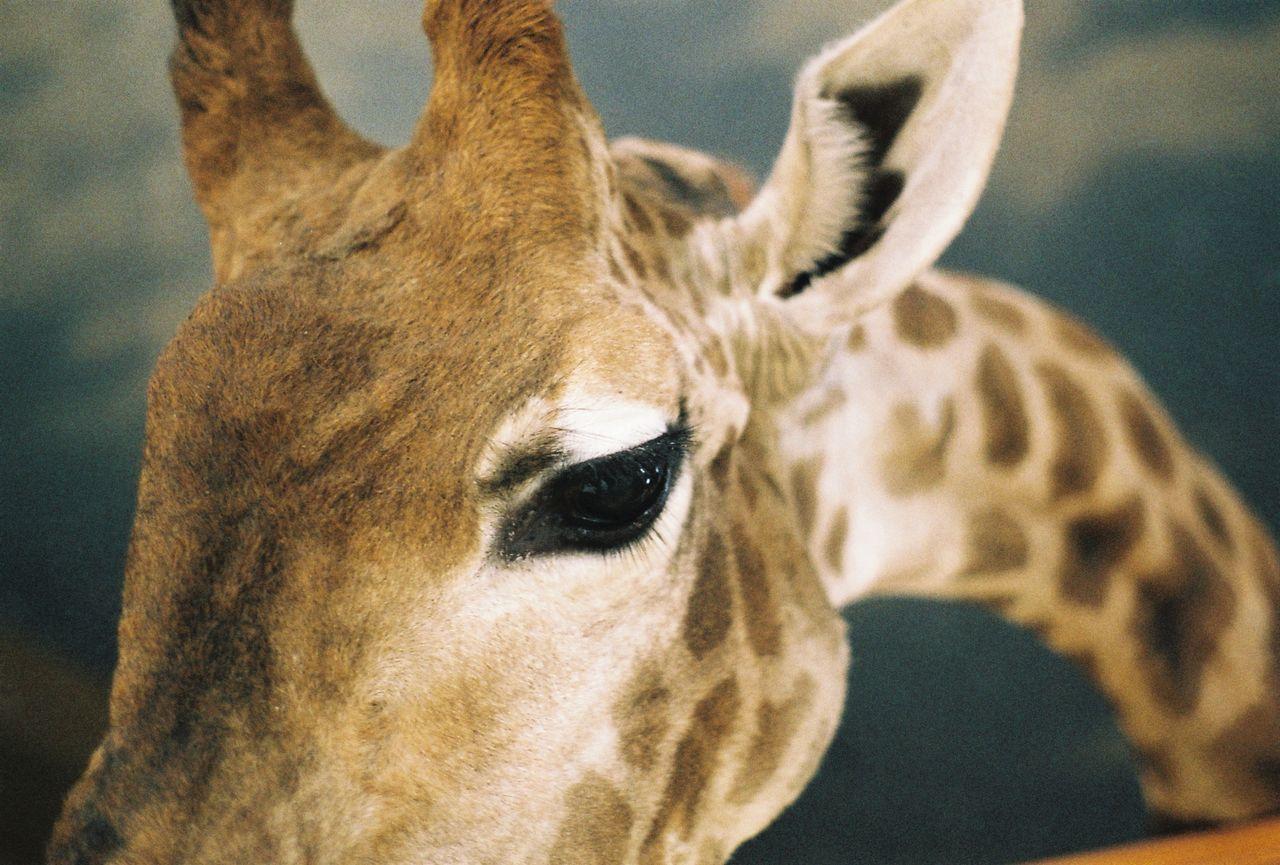 35mm 35mm Film Animal Animal Head  Animal Themes Close-up Eye Film Film Photography Giraffe Mammal Nature No People Sky Spots Weird Wild Animal Zoo The Week On EyeEm