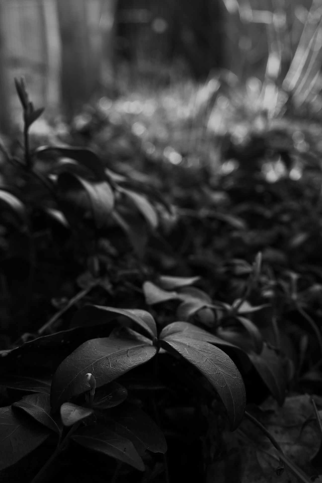 Black And White Bokeh Blackandgray Blackandgrey Bokeh Close-up Day Focus On Foreground Leaf Monochrome Monochrome Photography Moody Nature No People Outdoors Plant
