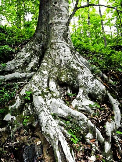 White knuckling it... Exposed Roots Trees TreePorn Bark Green Plant Forest Gray Tangled Roots Leaf Litter Forest Floor Hillside Treetops Canopy Understory Nature Amateurphotographer  Hiking Wilderness Kentucky Alive  Green Green Green!  Sky Background Kentuckynative