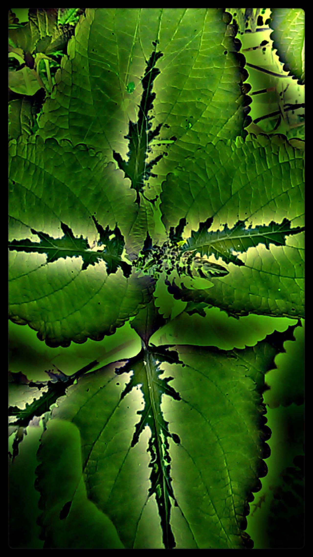 Coleus Foilage Plants 🌱 Plant Photography Leaf Green Color Nature Beauty In Nature Green Leaves North Carolina Boryzark