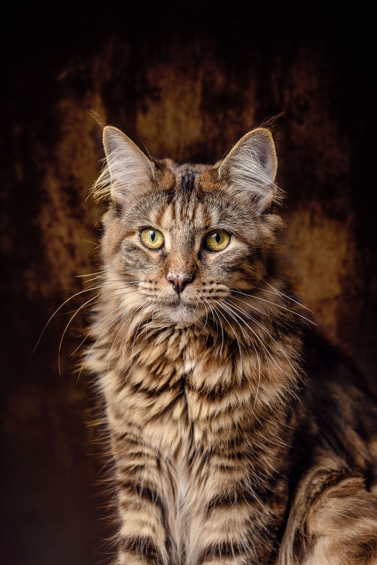 Young female Maine Coon Cat Animal Hair Animal Themes Black Background Close-up Day Domestic Animals Domestic Cat Feline Indoors  Looking At Camera Maine Coon Cat Mammal No People One Animal Pets Portrait Whisker