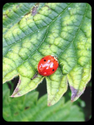 Insects  Ladybird