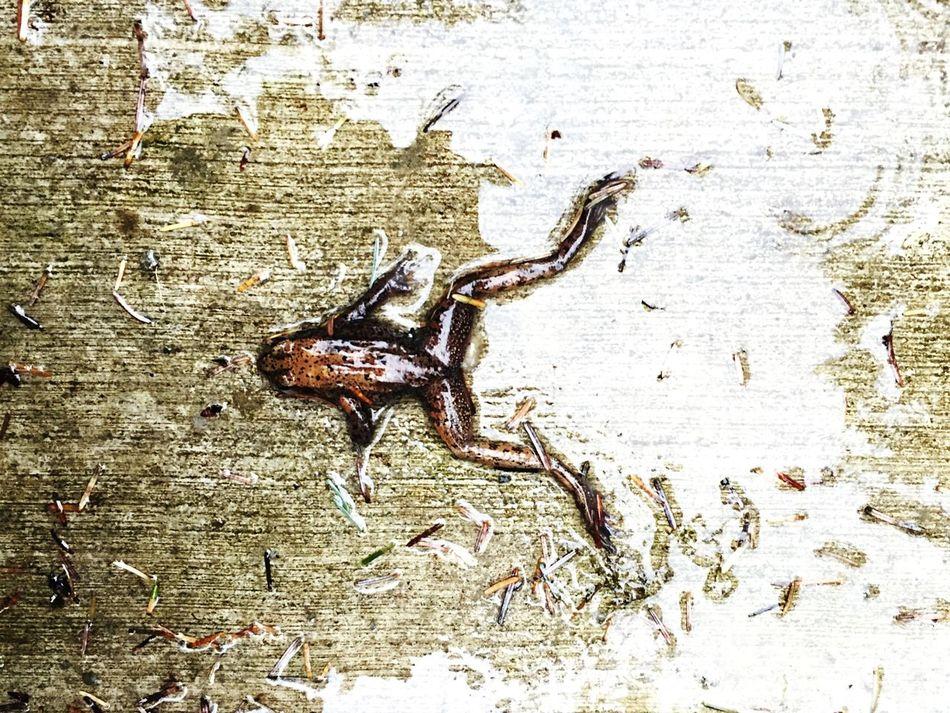 Life is hard. Rainy Days Animals Frogs Death Pavement Kickedtothecurb