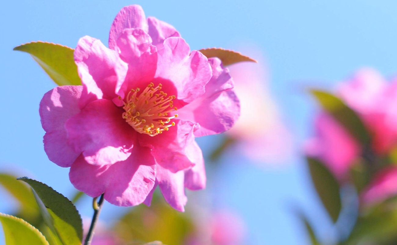 Flower Nature 山茶花 Camellia Nikkor.85mm.1:1.4