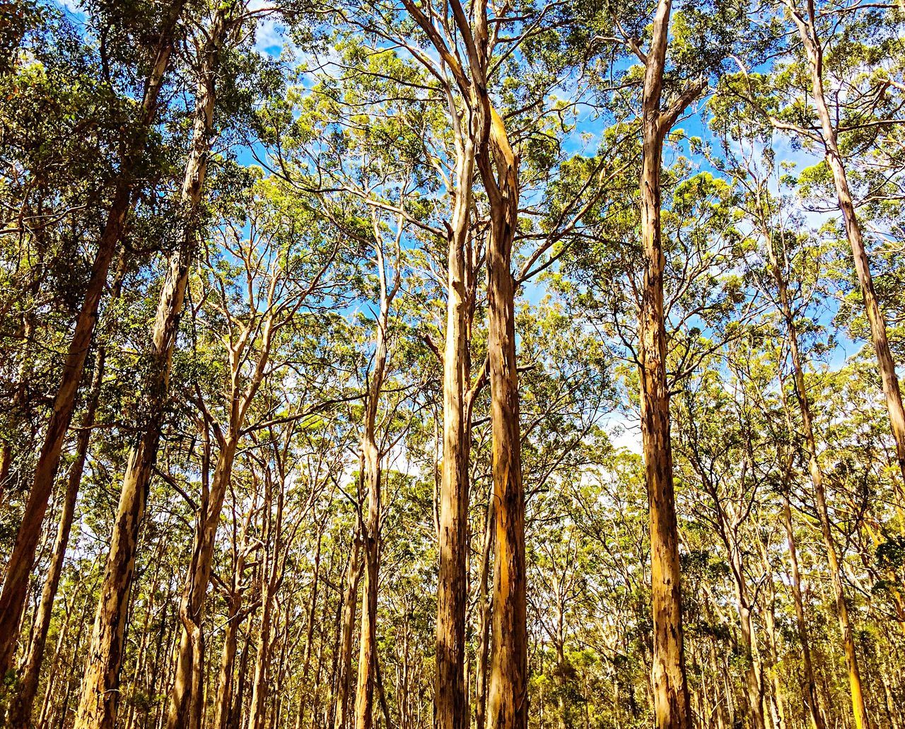 Karri Trees: Boranup Forest, Western Australia Karri Trees Forest Photography Tree And Sky Tree Porn Connecting Connected With Nature Walking Meditation Walking In The Woods Hiking Forest View Nature Photography Nature Woodlands Eco Adventure Woods Margaret River Region Boranup Forest Forest Leeuwin Naturaliste Forest Green Leaves Trees Branches Tall Trees Photographic Memory Fun Memories Of Electric Quad Bike Eco Tour Of Karri Trees In The Boranup Forest In Margaret River Region Of Western Australia