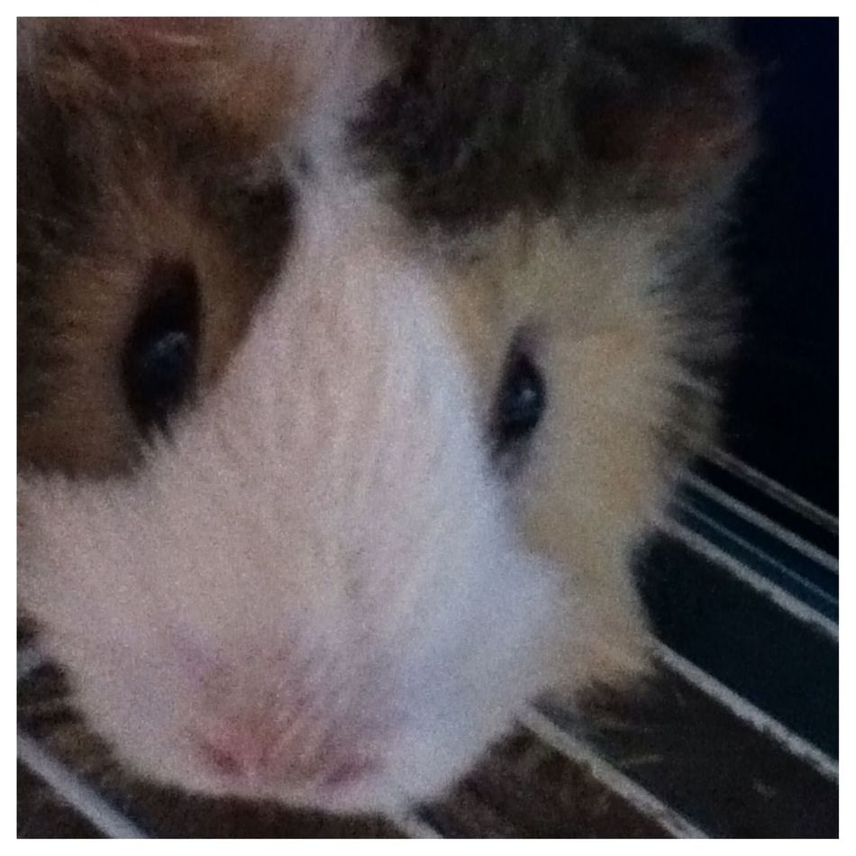 My guinea pig cookie looking for her breakfast!! Aww I love her she is soo cuter