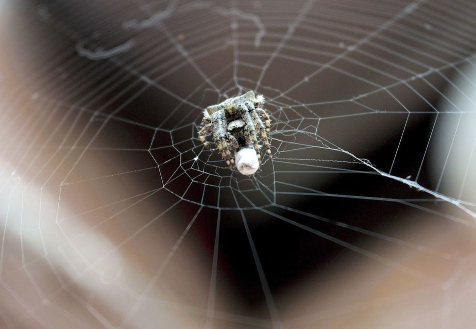 Spider Web Spider Web Nature Focus On Foreground Fragility Close-up Intricacy Animals In The Wild Concentric Backgrounds Day Animal Themes Macro Macro Photography Macrospider Macro Art Insect Outdoors Geometry Eating One Insect