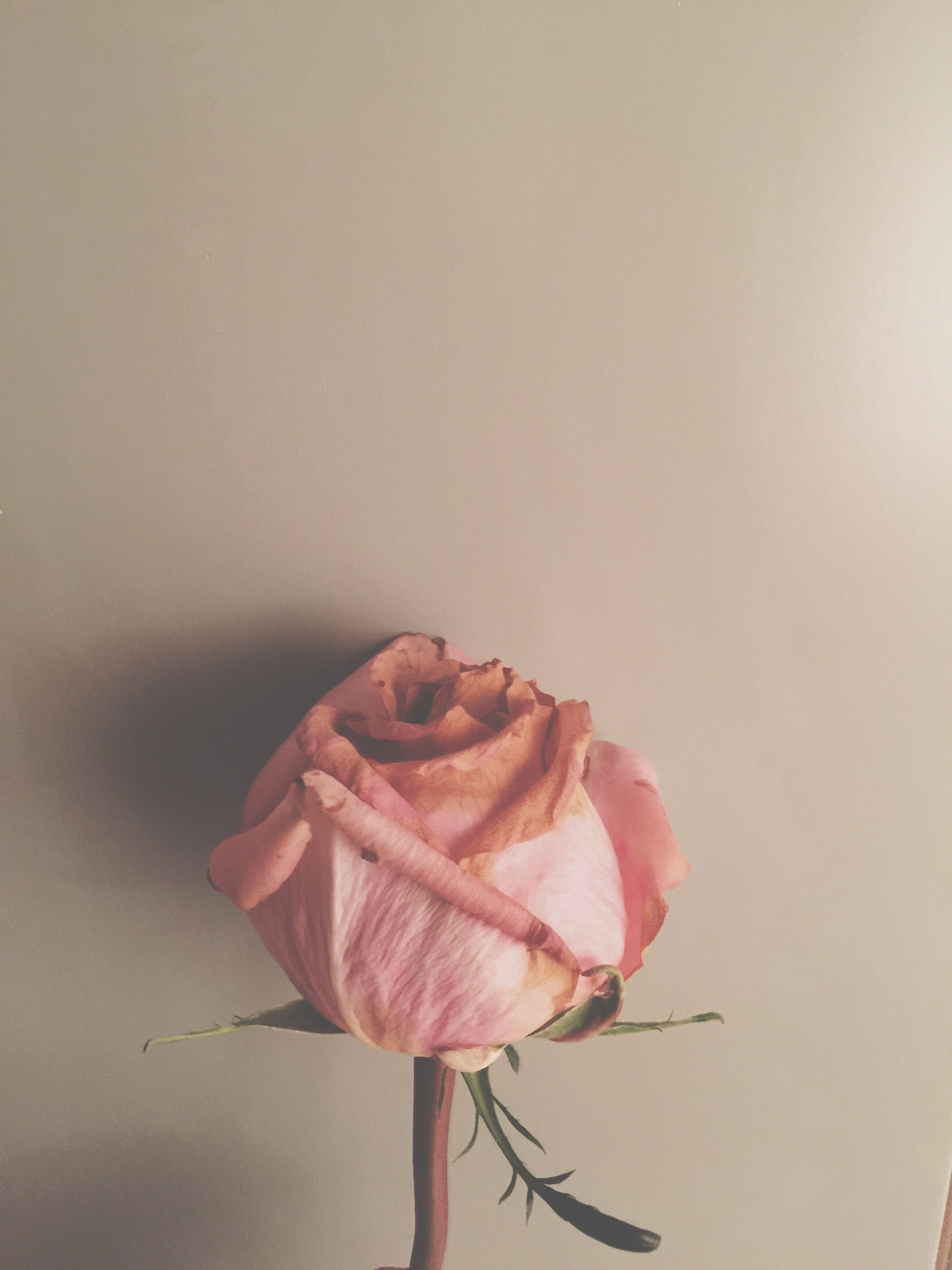 flower, petal, fragility, close-up, rose - flower, freshness, flower head, single flower, stem, copy space, nature, studio shot, beauty in nature, focus on foreground, rose, wall - building feature, plant, dry, pink color, no people