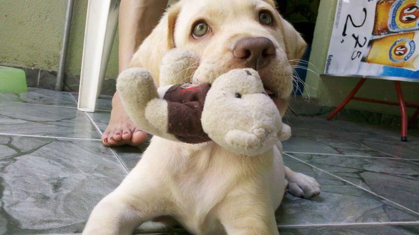 Dog Labrador A Dogs Life Friend