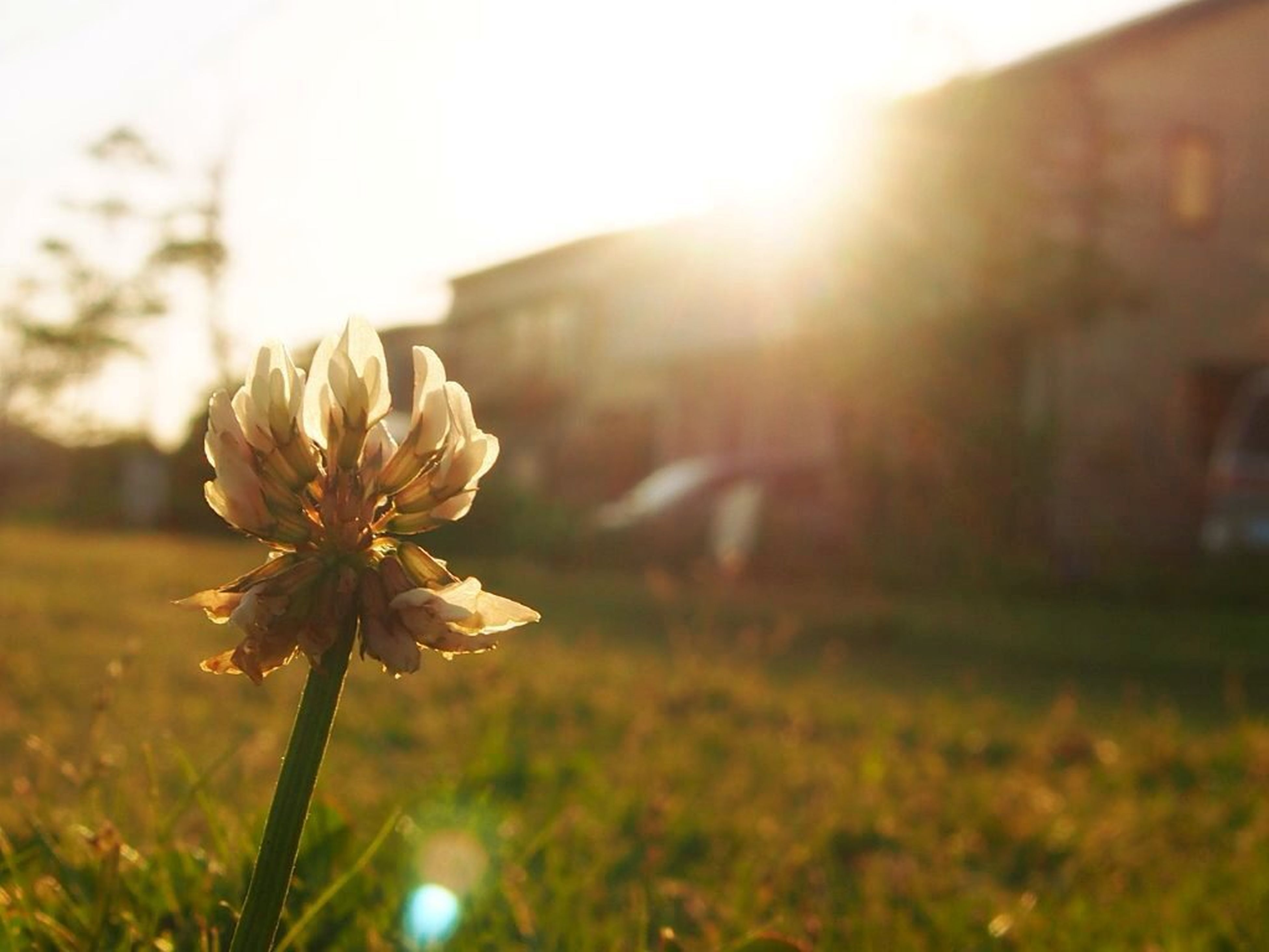 sun, flower, sunbeam, growth, lens flare, sunlight, freshness, fragility, plant, focus on foreground, building exterior, built structure, nature, grass, beauty in nature, architecture, close-up, petal, sunset, stem