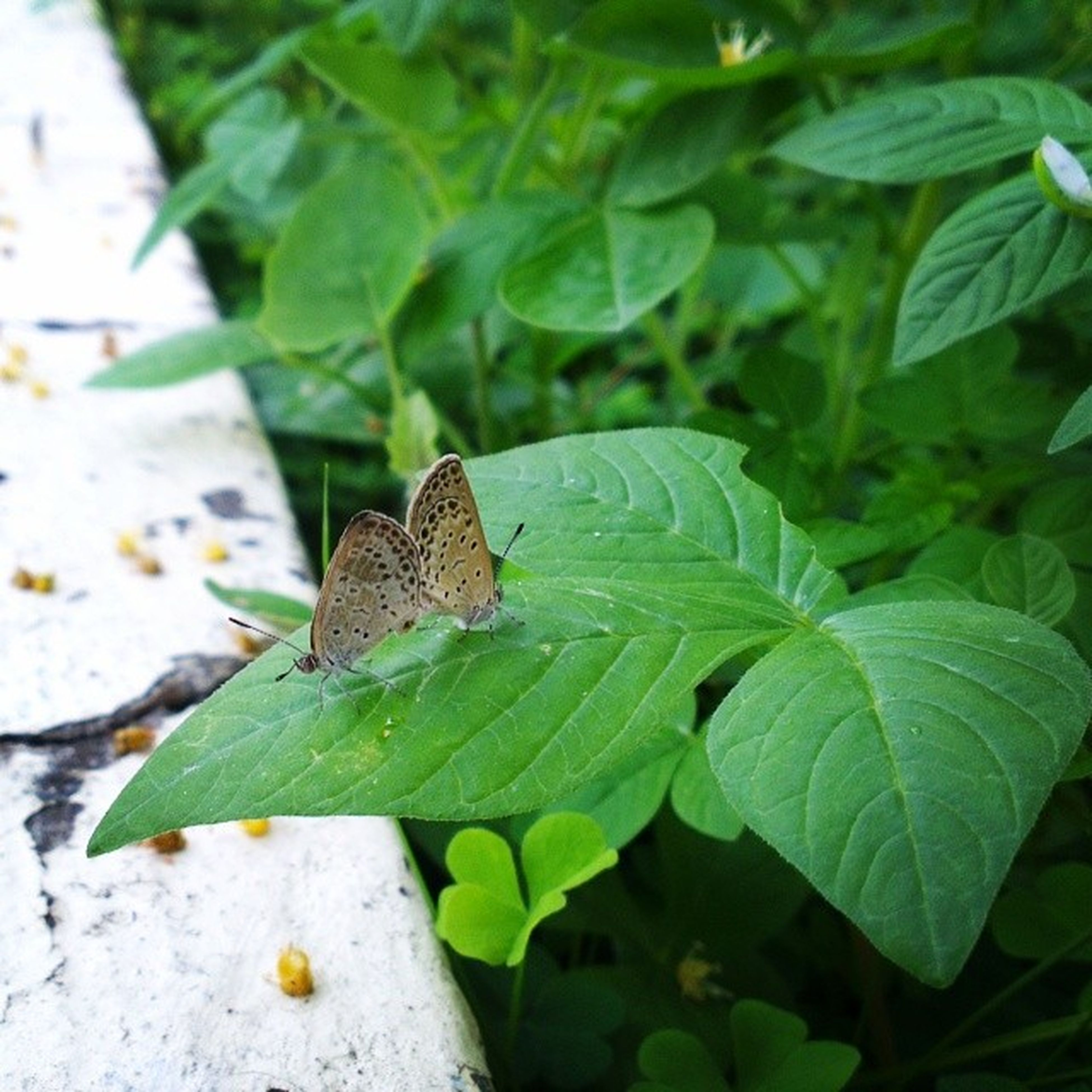 one animal, leaf, animal themes, animals in the wild, wildlife, insect, green color, plant, close-up, nature, focus on foreground, butterfly - insect, full length, high angle view, animal antenna, outdoors, day, butterfly, no people, selective focus