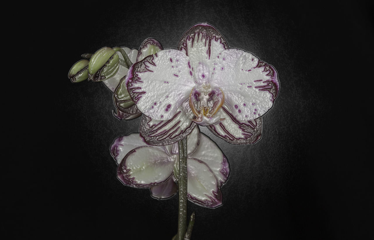 Artistic Orchid Artistic Beauty In Nature Black Background Check This Out Close-up Creativity Day Flower Flower Head Fragility Indoors  Manipulationphotography Nature No People Orchid Petal