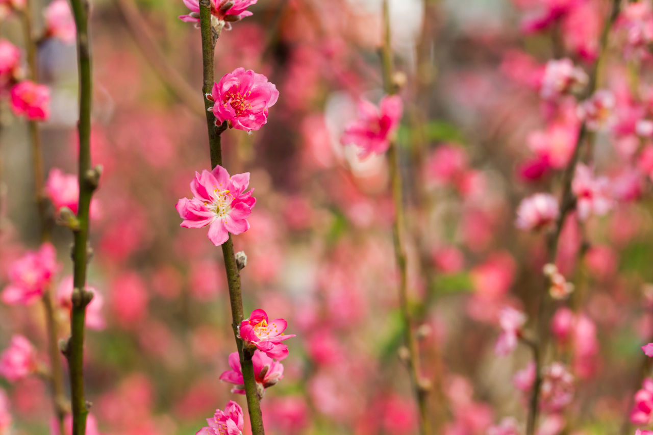 pink color, flower, growth, beauty in nature, fragility, nature, focus on foreground, no people, petal, freshness, day, outdoors, blooming, plant, pink, close-up, flower head, springtime, branch, tree, animal themes