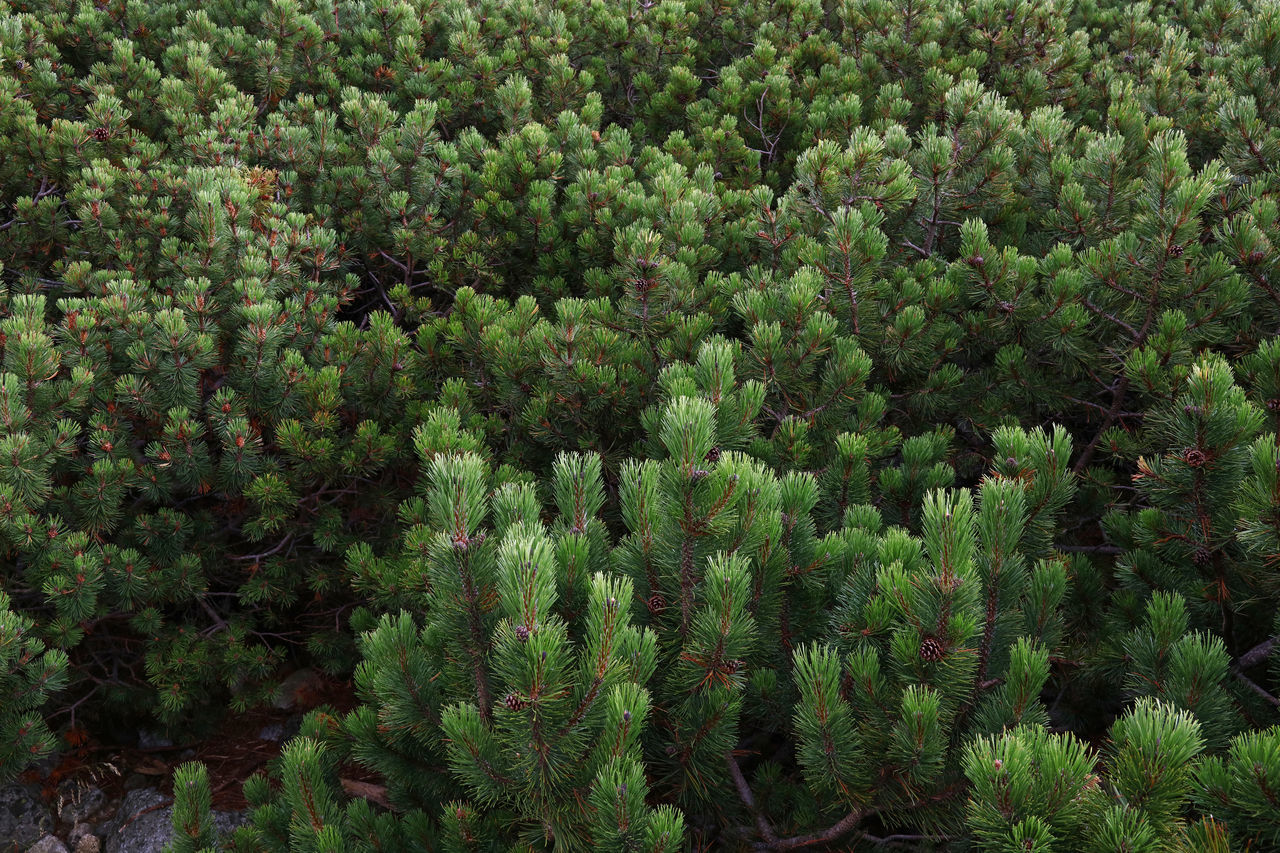 Aerial view over conifer pine forest woodland Aerial Aerial Photography Aerial Shot Aerial View Beauty In Nature Botany Christmas Tree Coniferous Tree Conifers Day Environment Evergreen Fir Forest Green Green Color Growth High Angle View Nature No People Outdoors Pine Pine Tree Tree WoodLand