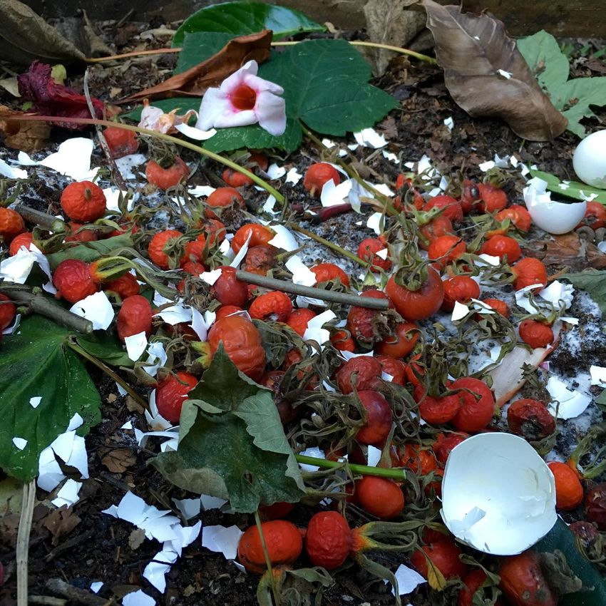 Compost pile with rose hips in the garden Abundance Beauty In Nature Bio-waste Change Close-up Compost Compost Pile Composting Day Eggshell Fragility Ground Growth Large Group Of Objects Leaf Leaves Multi Colored Nature No People Outdoors Plant Red Rose Hips Season  Tranquility