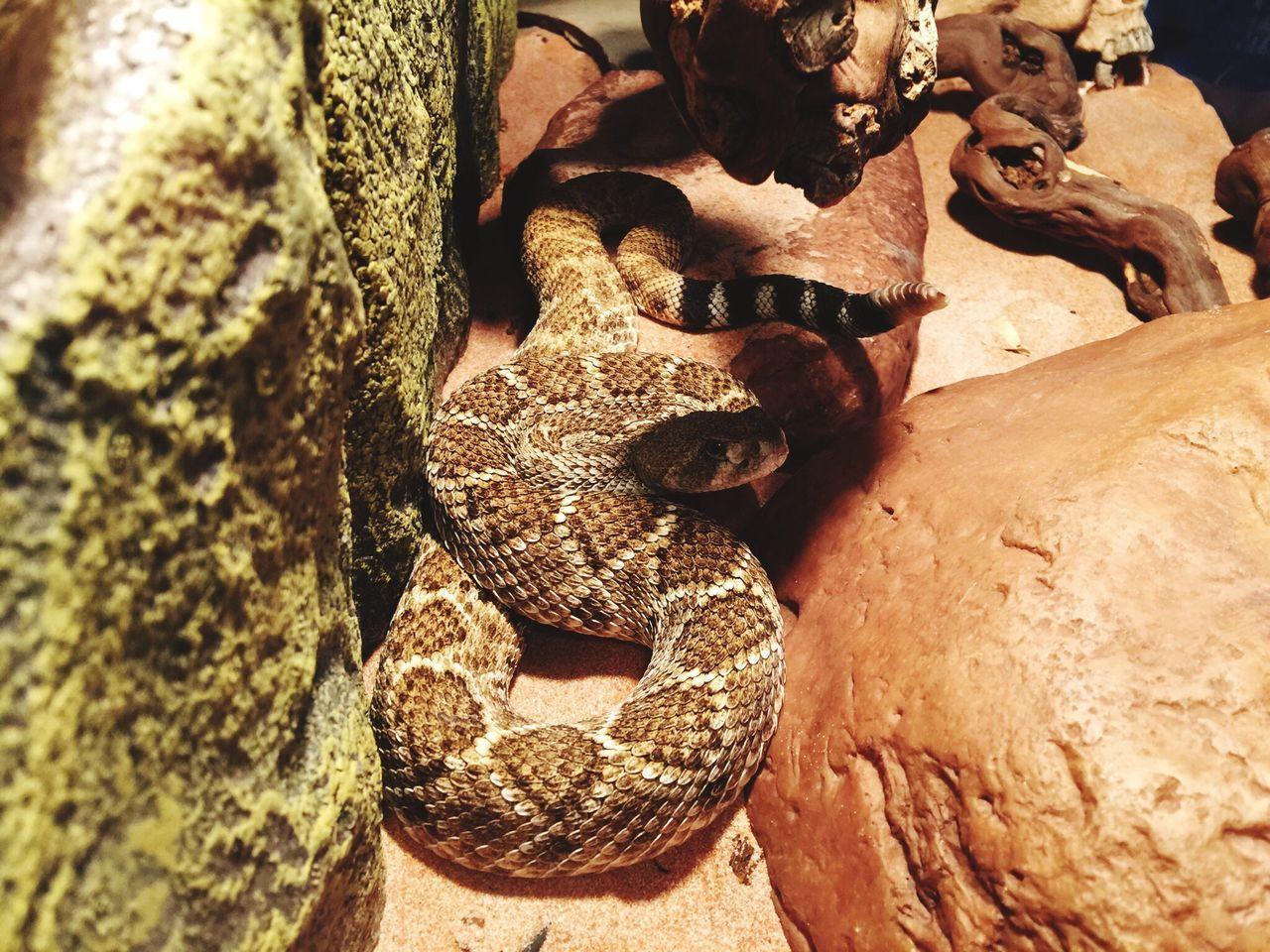 Crotalus Atrox Snake Schlange  Venomous Texas Klapperschlange Klapperschlange Gift