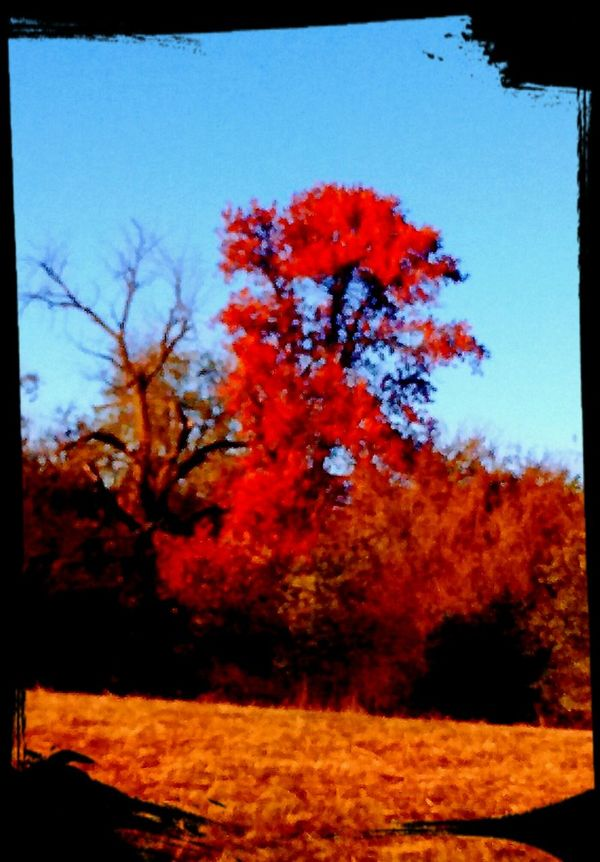 Tree Red Change Autumn Clear Sky Nature Outdoors No People Sky Day Branch Beauty In Nature Lots Of Edits Arkansas_ozarks Arkansas, USA Arkansas Red Nature Plant