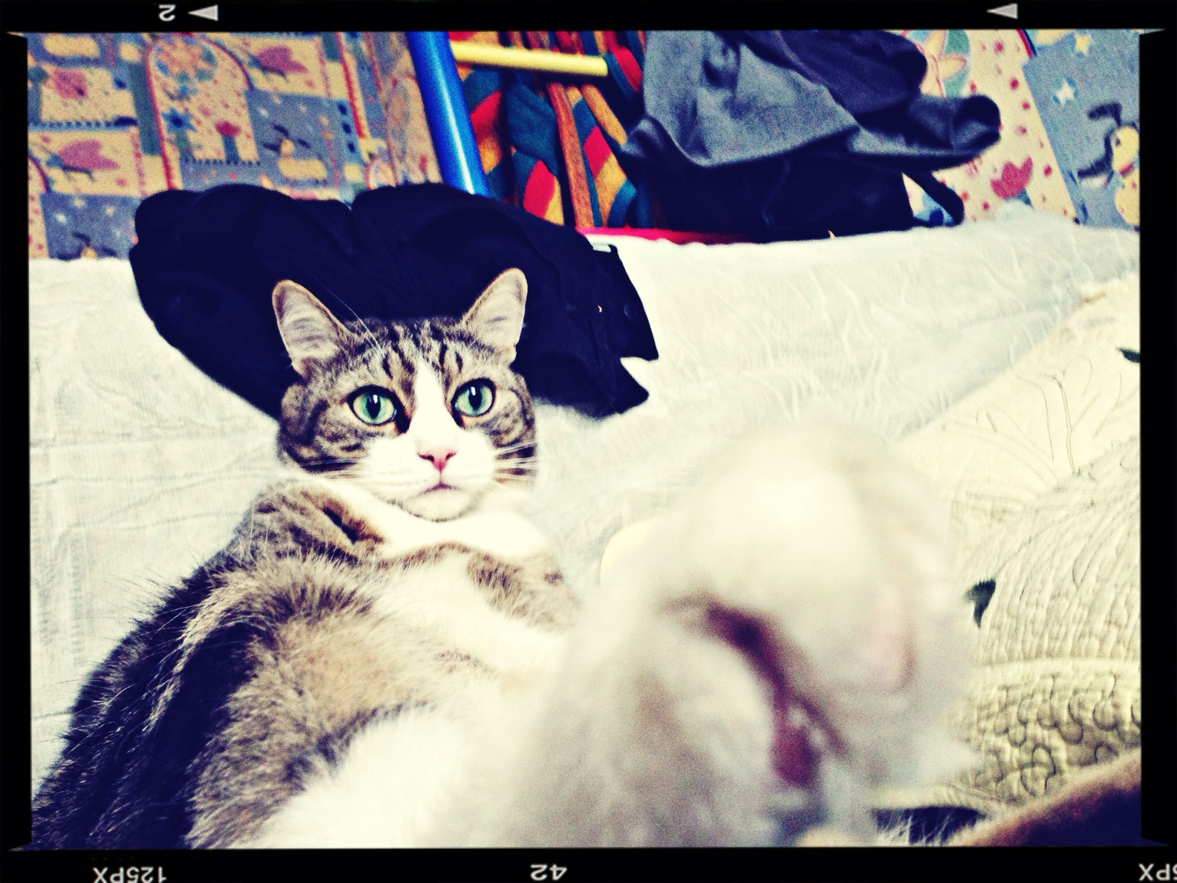 transfer print, pets, domestic animals, auto post production filter, indoors, one animal, animal themes, looking at camera, portrait, mammal, domestic cat, cat, home interior, front view, feline, sitting, relaxation, close-up, dog, bed