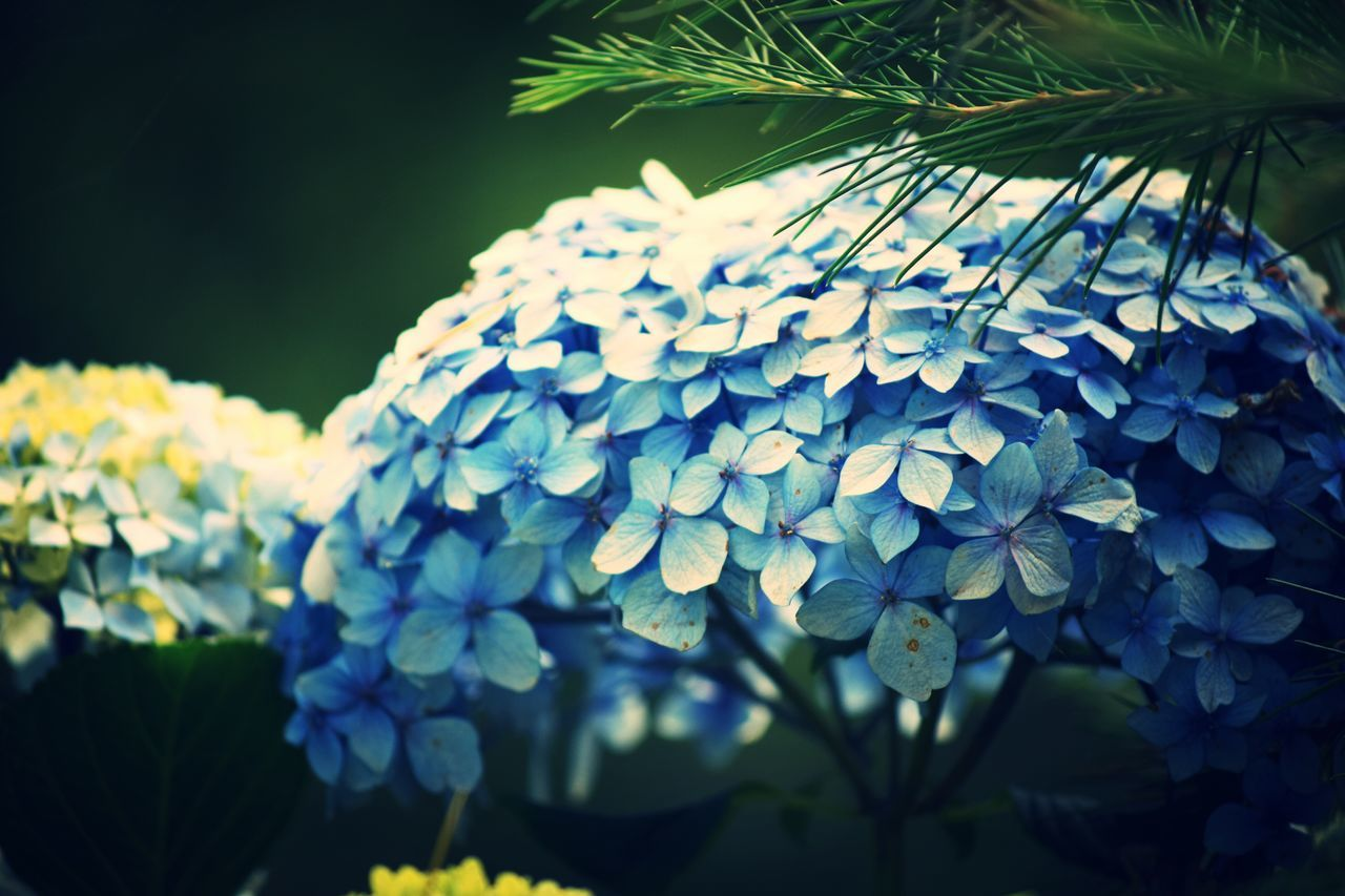 flower, beauty in nature, nature, growth, fragility, freshness, plant, outdoors, petal, day, hydrangea, close-up, blue, leaf, no people, flower head, blooming
