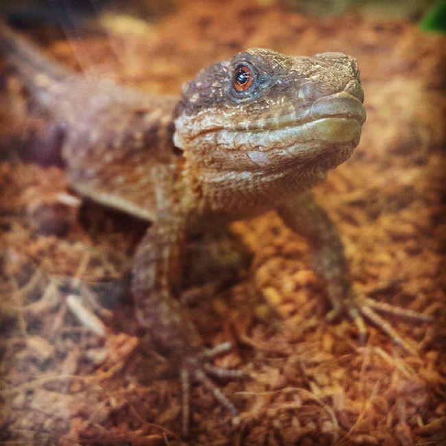 Armadillodragon Redeyed Dragon Lizard reptilesofinstagram