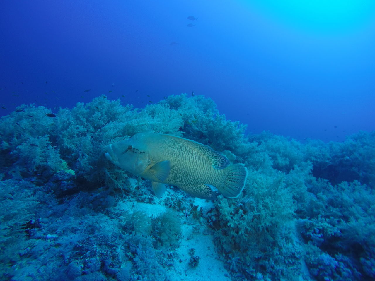 A large napoleon fish passing by while diving at the Daedalus Reef in the Red Sea, Egypt Adventure Animal Wildlife Animals In The Wild Diving Egypt Fish Napoleon Nature Nature Photography Ocean One Animal Red Sea Reef SCUBA Scuba Diving Sea Sea Life UnderSea Underwater Underwater Photography Wildlife & Nature Wildlife Photography