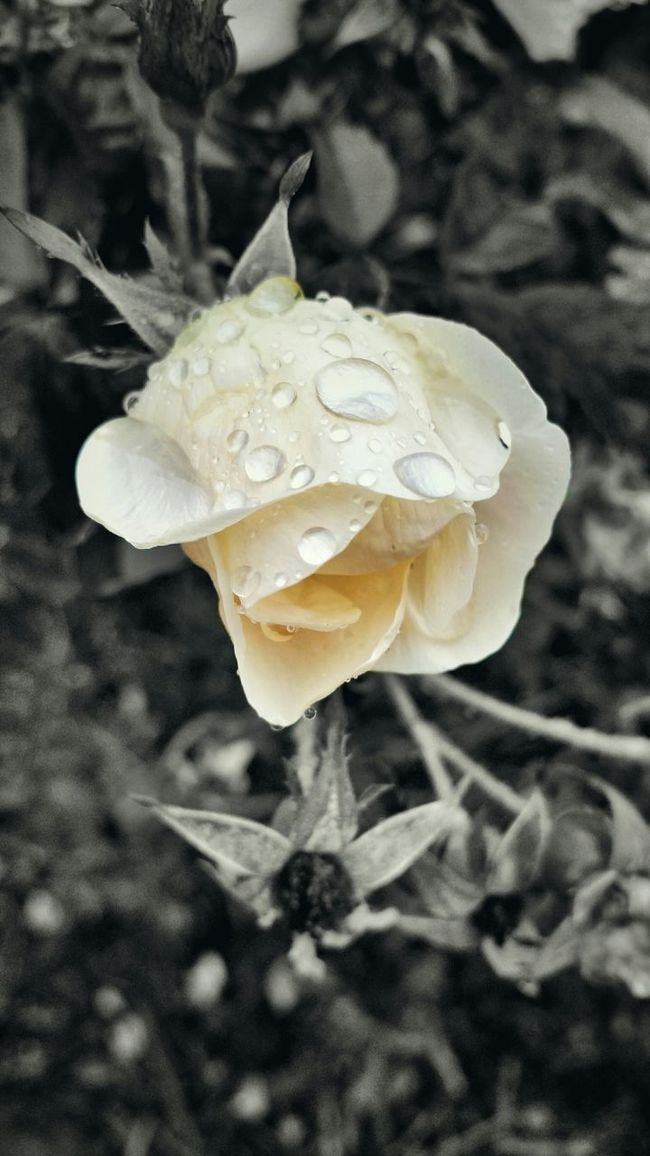 In My Backyard EyeEm Best Shots - Nature B&W With A Splash Of Color Rain Drops On Roses Taking Pictures In The Rain Relaxing Enjoying Nature White Roses Rain Drops