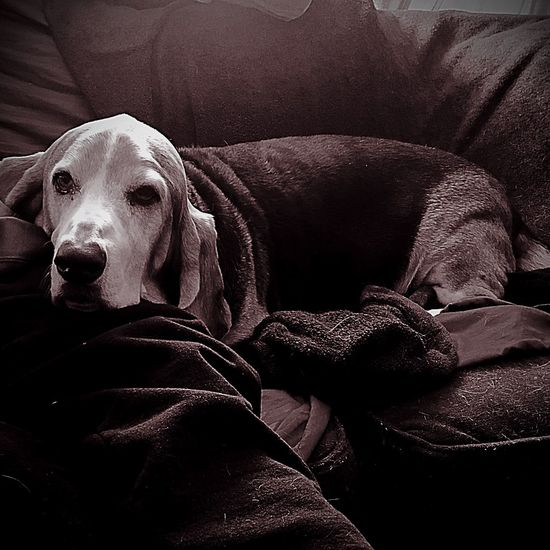 A relaxed Hound Pets Dog Domestic Animals One Animal Close-up Indoors  Relaxation Blackandwhite Photography Looking At Camera Seniorhoundsrock Portrait Iphonephotography Pampered Pooch Ilovemybassethounds Bassethoundsare Best Bassetmoments Lying Down