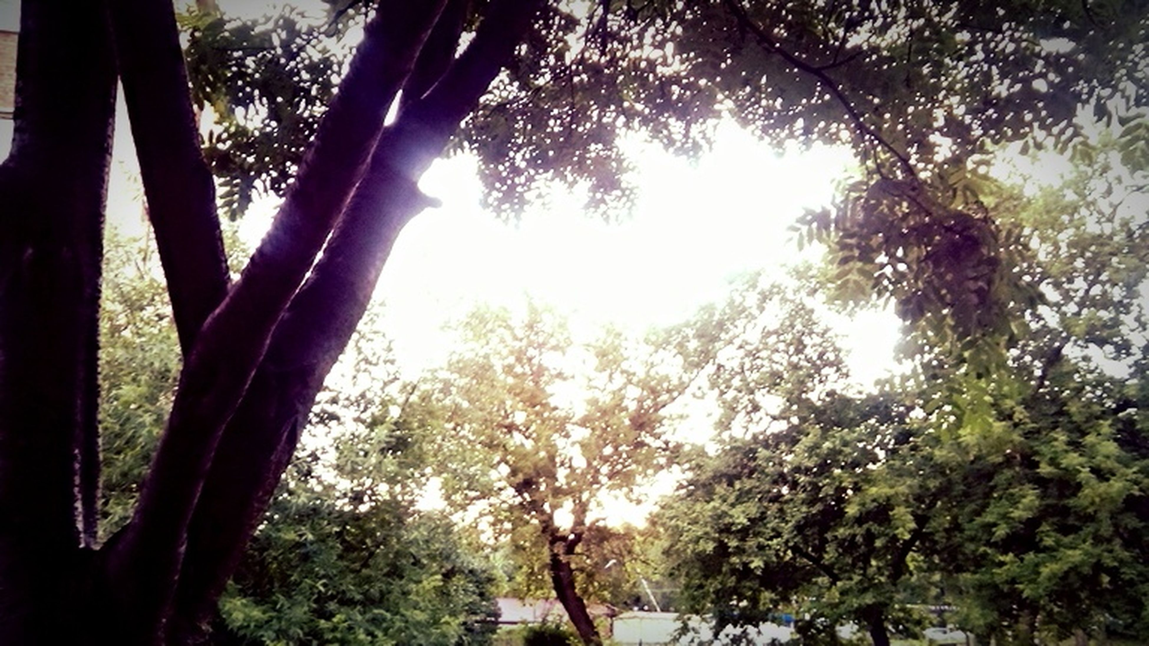 tree, sun, sunlight, sunbeam, lens flare, growth, branch, tree trunk, tranquility, nature, beauty in nature, sunny, low angle view, tranquil scene, back lit, scenics, sky, shadow, silhouette, day