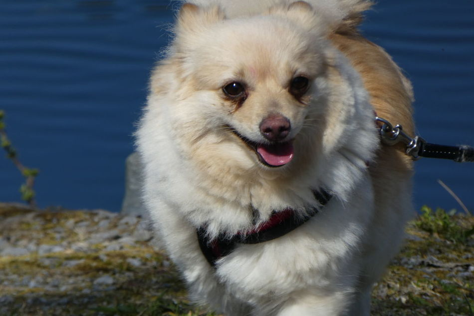 Friend for ever Pets Animal Dog Domestic Animals Pomeranian Looking At Camera Portrait Water Sea Animal Themes Close-up Outdoors EyeEm Gallery Lake Spitz Cropped Body Tounge Out  White Focus On Foreground Men's Best Friend