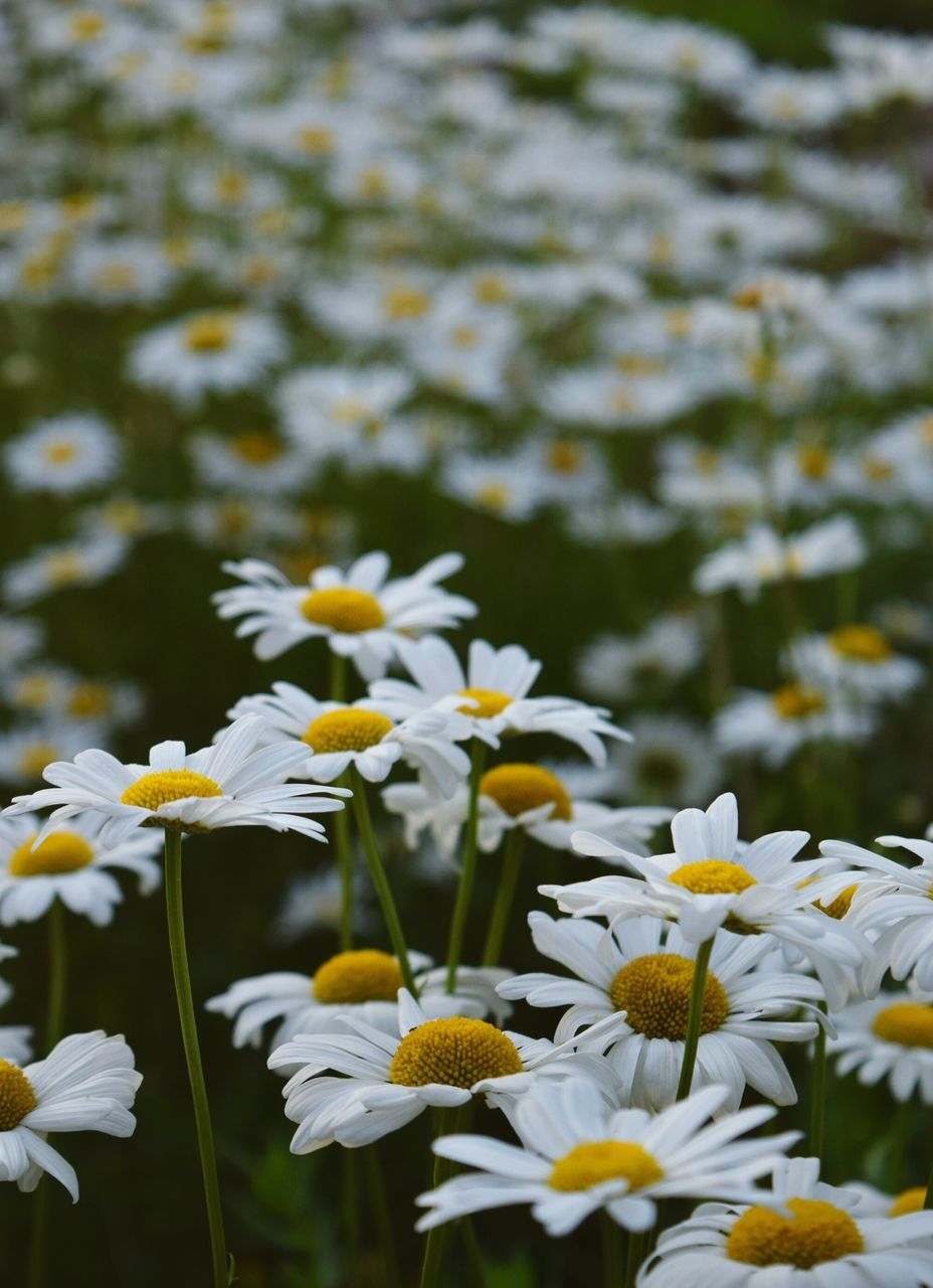 White Daisies Blooming At Park