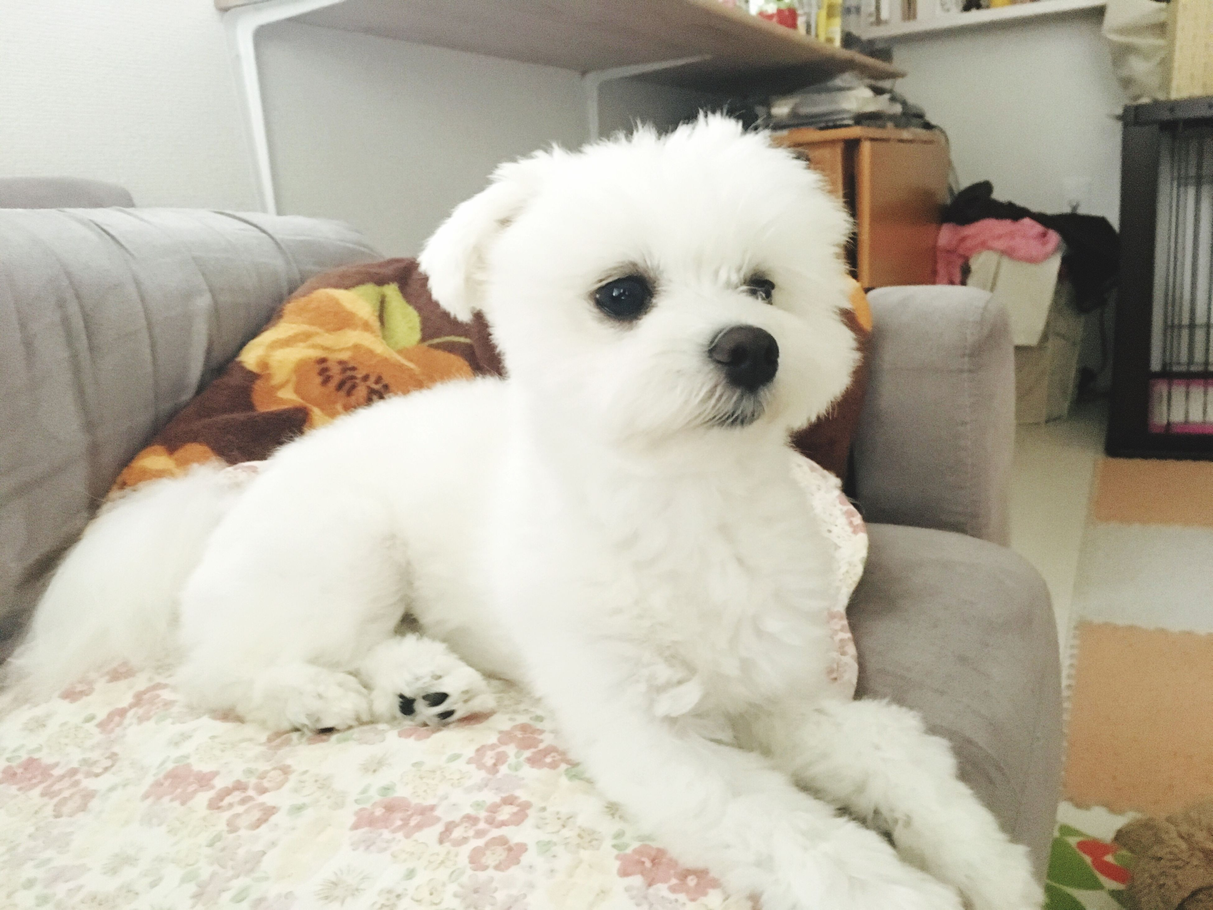 domestic animals, pets, dog, animal themes, one animal, mammal, cute, young animal, white color, relaxation, comfortable, animal head, looking, carrying, lap dog, pampered pets, fluffy, animal hair