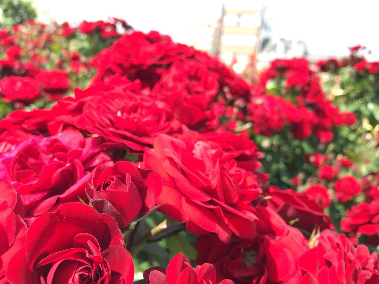 Beautiful Taking Pictures Japan Traveling Japanese  Flowers Fukuyama-city Travel Photography Rosegarden