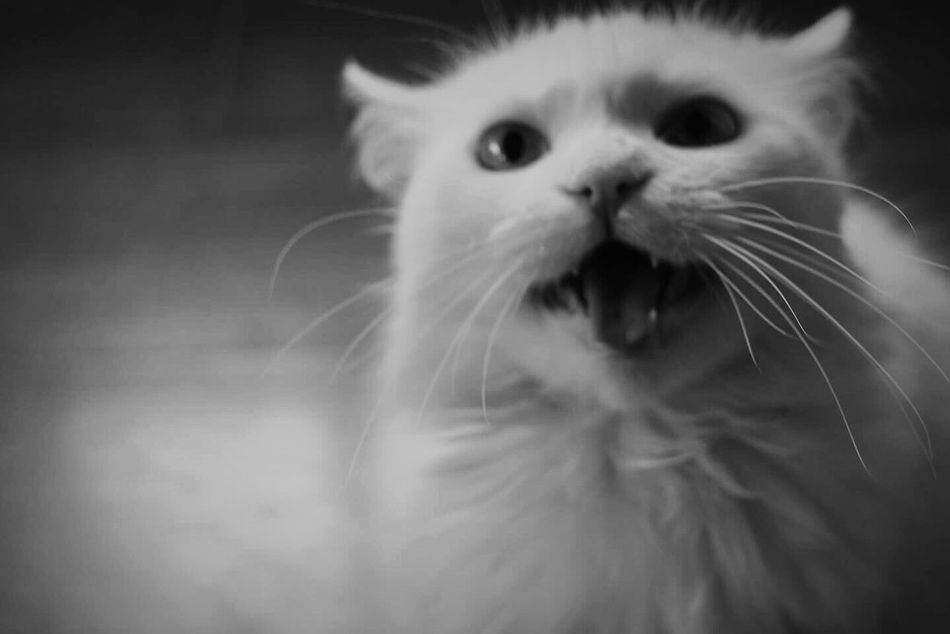 Domestic Cat Feline Pet Angoracat
