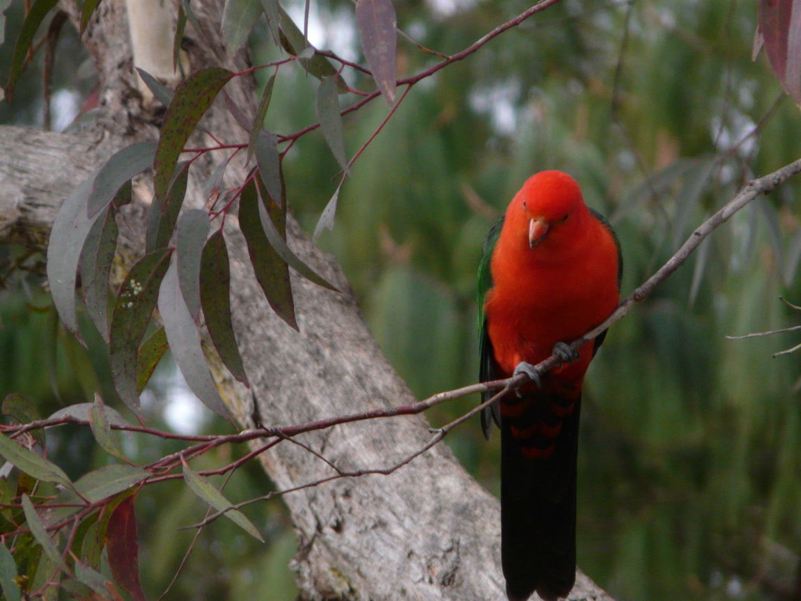 Australian Native Birds- King Parrot M & F Australia Australian Wildlife Avian Beauty In Nature Blue Mountains Close-up Colourful Day Focus On Foreground Inquisitive King Parrot Native Birds Nature No People Outdoors Perching Selective Focus