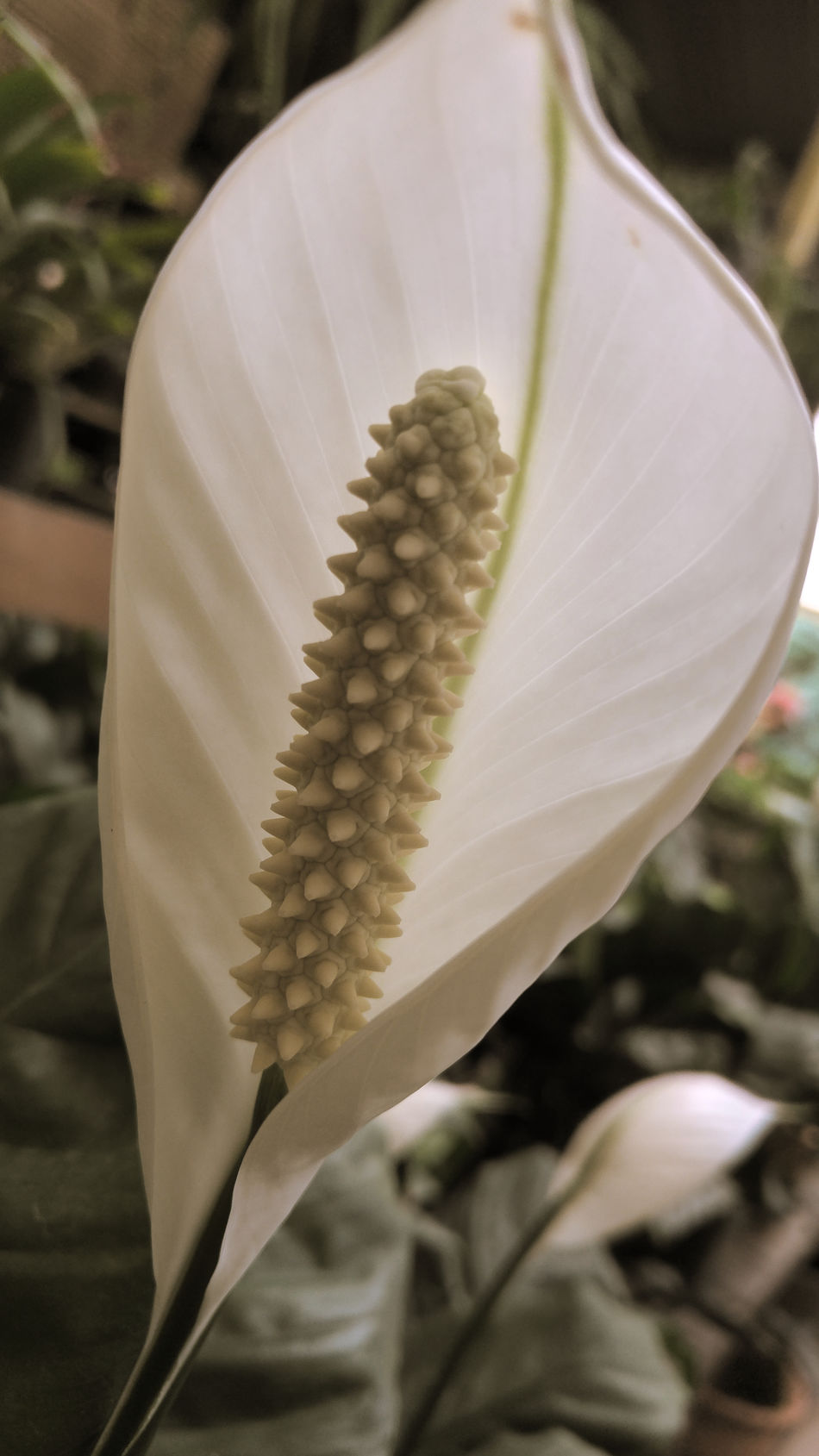Beauty In Nature Blooming Blossom Botany Bud Flower Flower Head Focus On Foreground Freshness Growth In Bloom Monstera Deliciosa Nature Petal Plant Planta De Queso Suizo Pollen Selective Focus Single Flower Stamen Swiss Cheese Plant White White Color Still Life Flower Photography