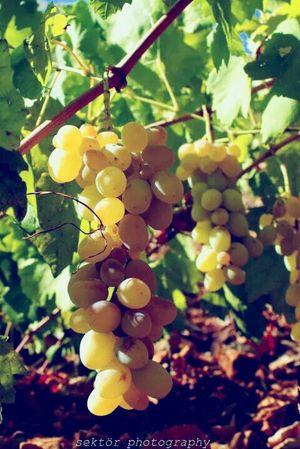 üzüm Grapes Nature Nature_collection Sektör Yapım EyeEm EyeEm Nature Lover EyeEm Best Shots Yellow Organic
