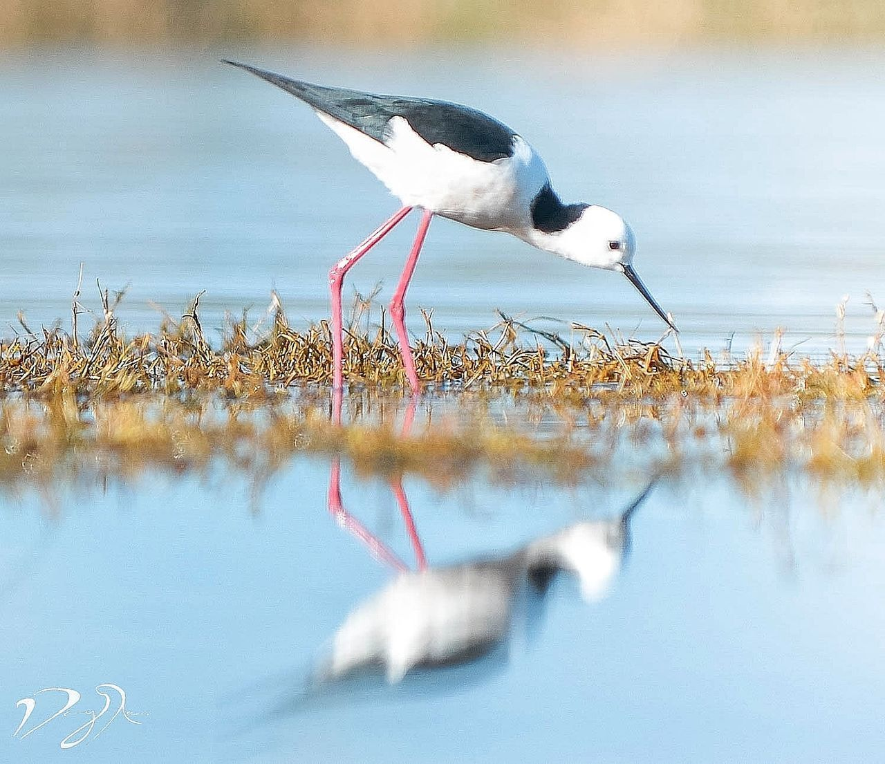 A black winged stilt, found in Western Australia. Bird Animal Wildlife Animals In The Wild Reflection Water Lake Animal Themes Nature Day No People Outdoors Travel Destinations Nikonphotography Bird Photography Birds_collection Birdwatching Birds Of EyeEm  Perth Australia Wildlife Wildlife & Nature Wildlife Photography Waterfront Animals In The Wild Wild Animal