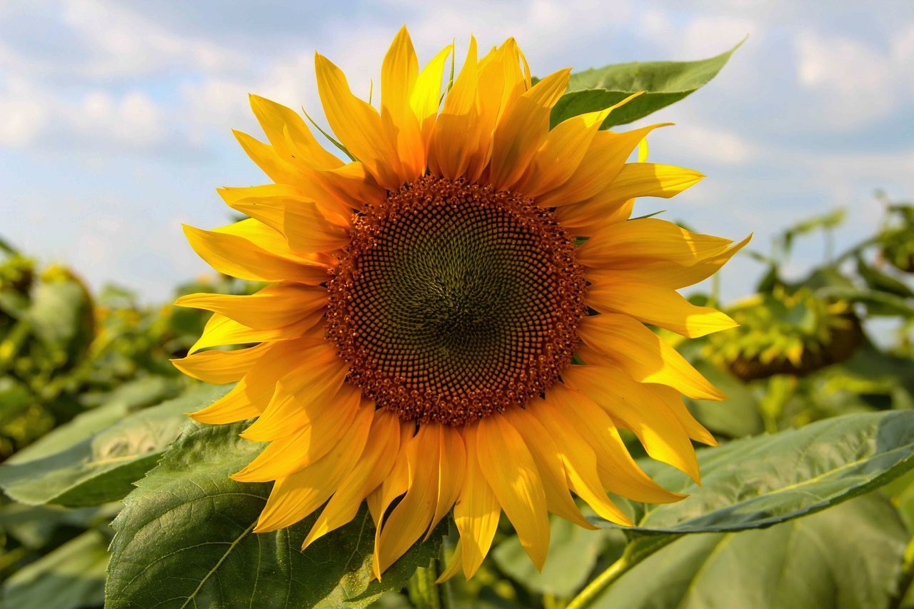 Agriculture Beauty In Nature Blooming Blossom Botany Close-up Day Flower Flower Head Focus On Foreground Green Color Growth Harvest In Bloom Nature No People Outdoors Petal Plant Pollen Sky Summertime Sunflower Yellow