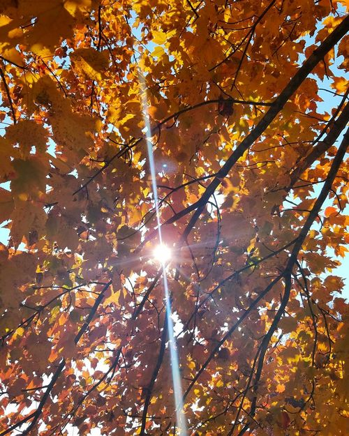 The death of leaves is so beautiful! Tree Nature Low Angle View Sunlight Beauty In Nature Autumn Sun No People Change Leaf Branch Outdoors Day Sky Blue Sky Photography Beautiful Sky Yellow Naturephotography Artsy Natural Light