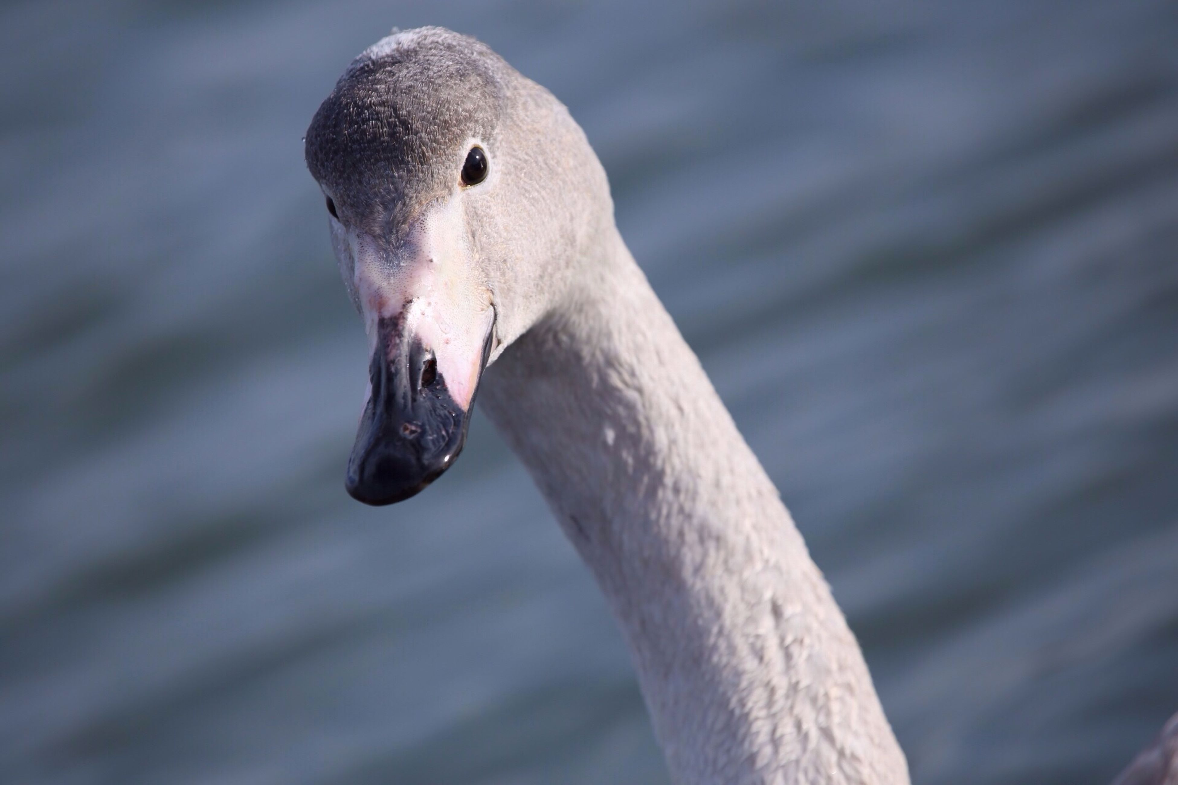 bird, animal themes, animals in the wild, wildlife, one animal, beak, water, swan, focus on foreground, lake, close-up, nature, white color, water bird, swimming, side view, outdoors, day, animal head
