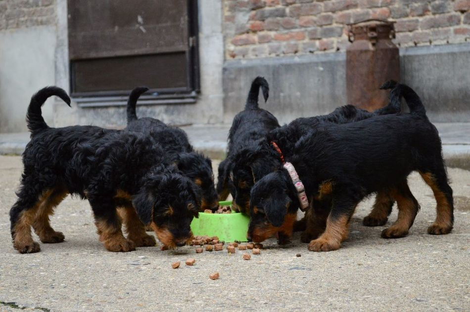 Beautiful stock photos of welpen, Airedale Terrier, Animal Themes, Black Color, Bowl