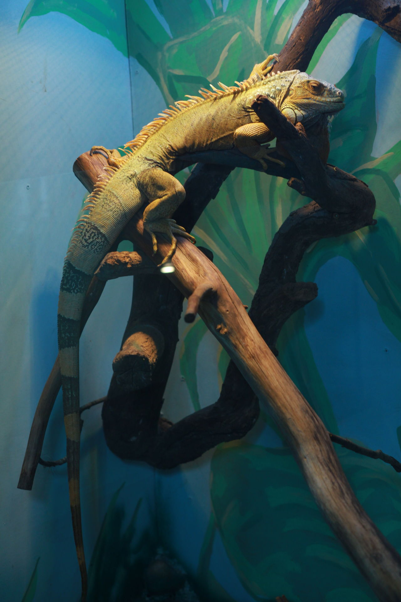Animal Themes Captive Animals Captivity Day Iguana No People One Animal Reptile Reptile Reptile Photography Reptile World Reptiles Zoo