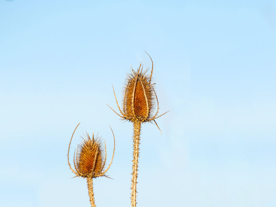Beauty In Nature Blue Clear Sky Close Up Nature Close-up Day Dipsacus Dipsacus Fullonum Dried Plant Environment Flower Flower Head Fuller's Teasel Growth Low Angle View Nature No People Outdoors Sky Teasel Thistle Thistle Flower Thistles Wild Plants Winter