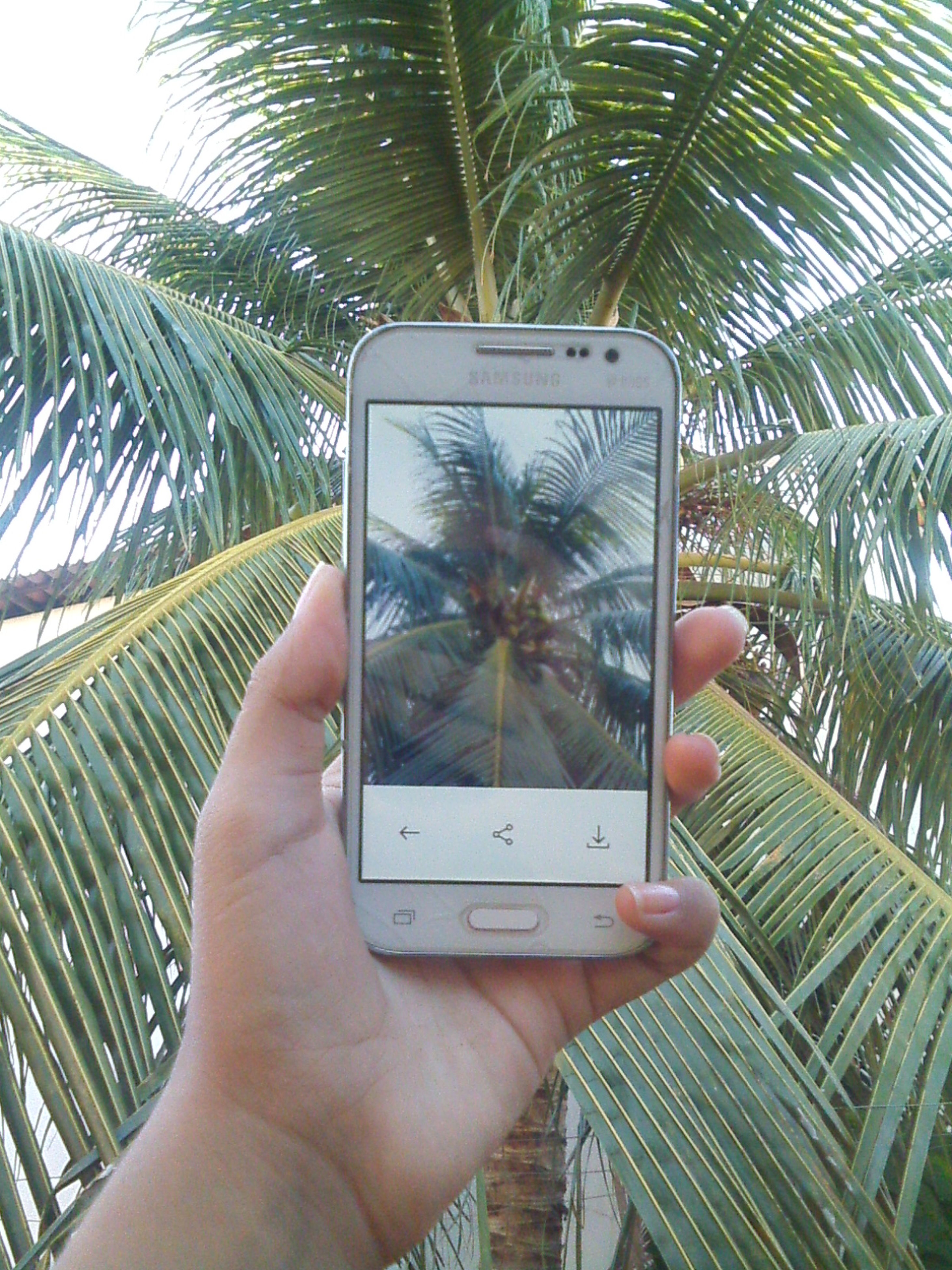 palm tree, holding, tree, growth, photography themes, photographing, person, part of, leaf, tropical climate, vacations, plant, outdoors, in front of, sky, day, nature, green color, tropical tree, coconut palm tree, focus on foreground, beauty in nature